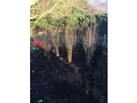 Hawthorn hedging 3ft