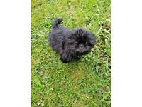 Shih tzu male puppy