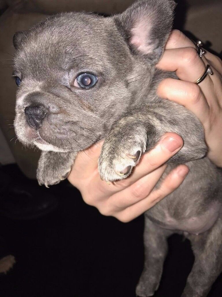 Stunning Lilac Also blue french buldogs