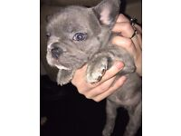 Stunning Lilac french bulldog puppies