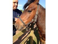 13.1hh 15 years old gelding