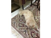 Long haired domestic cat,champagne colour .