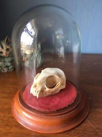 Real Wildcat skull mounted in vintage glass and wooden bases dome jar - taxidermy, bones etc