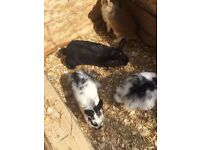 Baby lion head rabbits