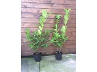 Laurel Hedging plants x50 90cm plus