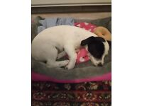 Jackrussel puppy she is black and white 15 weeks old on Friday