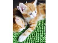 Bengal X ginger kittens