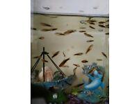 Platy fish babies