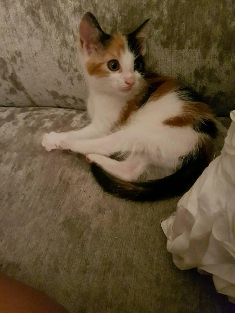 Orange ginger white black girl female kitten cat