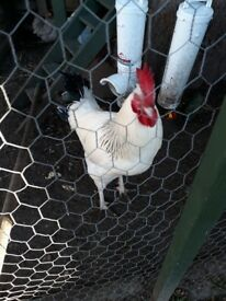 Free rooster