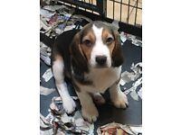 KC Registered Beagle pups for sale