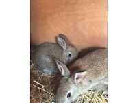 Sweet Baby Rabbits For Sale