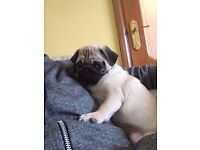 Lovely Pug Cream/ Beige boy for sale - 4 months old