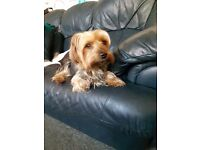 Yorkshire terrier 6 years old