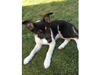 ONLY ONE SHORT HAIRED BITCH LEFT Gorgeous pedigree border collie puppies ISDS registered