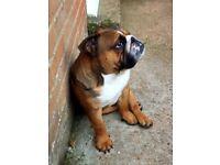 British bulldog male 2.5 yr