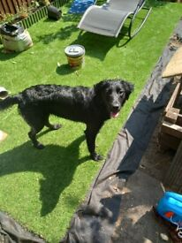 Black labrador retriever for sale