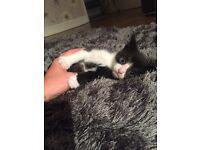8 week old male kittens