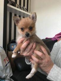 Chorkie x Pom puppies for sale