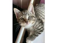 Gorgeous Male Tabby Kitten