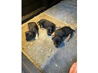 Lakeyjacks puppies *For Sale*