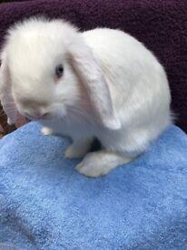 3 Sweet minilop bunnies for sale