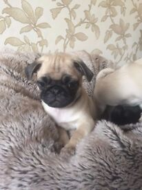 Wanting a good home for a gorgeous pug puppy
