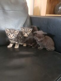 3 very docile male kittens for sale
