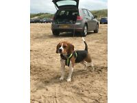 Beagle - Bruno is s lovely beagle in need of a new home.