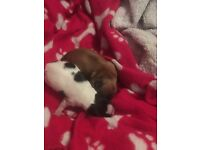 Kc reg longhaired chihuahua puppies