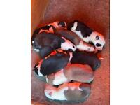 Collie whippet puppies litter of 8 ALL SOLD