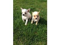 Chihuahua cross maltease puppies