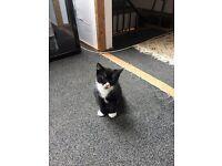 Lovely nine week old kitten