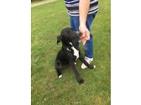Beautiful Great Dane girl for sale due to no fault of her own