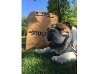 Gorgeous English Bulldog for Rehoming