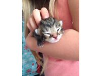 Adorable Bengal Cross Kittens