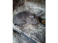 Blue eared lop rabbit