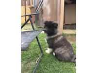 Longcoat Japanese Akita Puppies - Ready Now