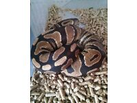 Adult Yellow Belly Royal Python