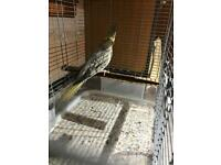 pied female cockatiel with cage