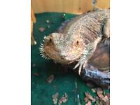 3 Bearded dragons for sale