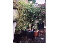 Large 7ft bambo plant in pot