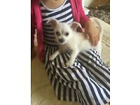 Cute chihuahua X bichon frise male puppy