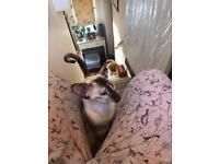 Naughty Tortie female Siamese