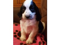 Beautiful Sprocker Spaniel Puppies liver and white and black and white