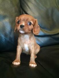 Cavalier King Charles spaniel puppies. RUBY!