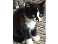 Male Black and White Kitten