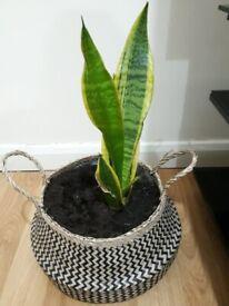 Dracaena trifasciata Plant