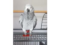 African Grey Parrot missing since May 17th