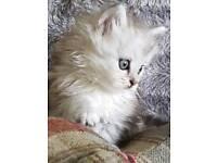 Main Coon Kittens